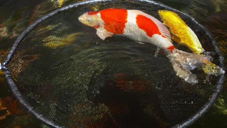 7 dicas para criar carpas globo rural peixe for Como criar carpas en estanques