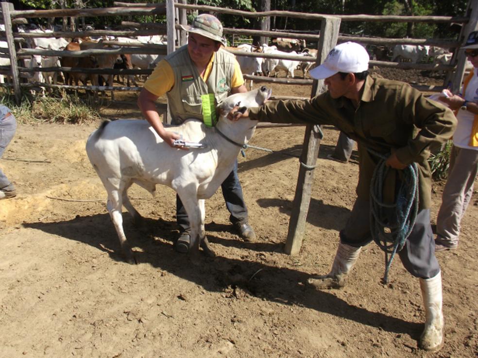 Quase metade dos produtores de gado de Cacoal já declararam vacinação contra a aftosa (Foto: Divulgação/Elaine Barbosa)
