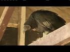 Urubu Zulu está isolado em zoológico de Ipatinga para readaptação