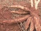 Pesquisadores do PR apresentam novas variedades de mandioca