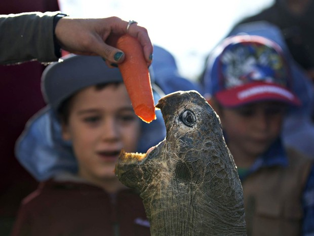 A tartaruga-de-galápagos Hugo, de 63 anos de idade, é atraída para fora de seu abrigo com uma cenoura para sua pesagem anual no Parque de Répteis da Austrália em Somersby, perto de Sydney. Hugo está com 166 kg. A espécie pode viver até mais de 180 anos (Foto: Jason Reed/Reuters)