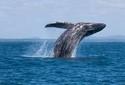 Biólogo flagra salto de baleia-jubarte em arquipélago