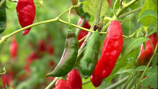 Agroindústria impulsiona o cultivo e processamento de pimenta no RS