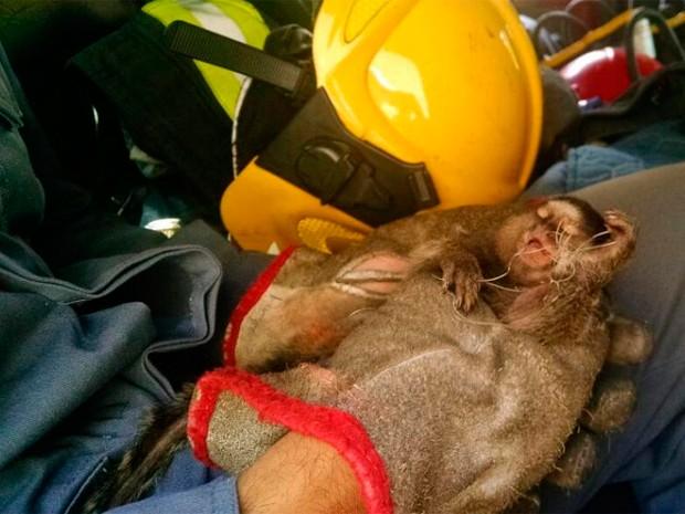 Mico-estrela é resgatado pelo Corpo de Bombeiros em Belo Horizonte (Foto: Corpo de Bombeiros/Divulgação)