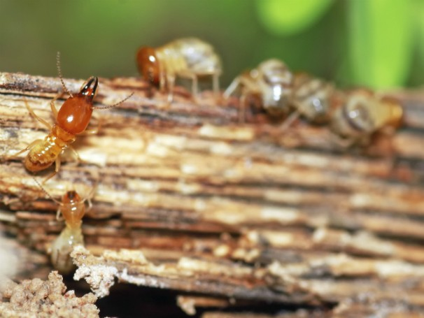 Globo Ecologia - Pragas Urbanas - Cupins (Foto: Thinkstock/Getty Images)