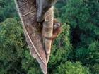 Flagrante de orangotango em árvore para colher figo vence prêmio de foto de vida selvagem