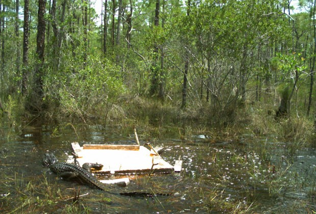 Outras duas fotos tiradas pela câmeras levantam dúvidas se o guaxinim escapou (Foto: Reprodução/Facebook/Florida Fish and Wildlife Conservation Commission)