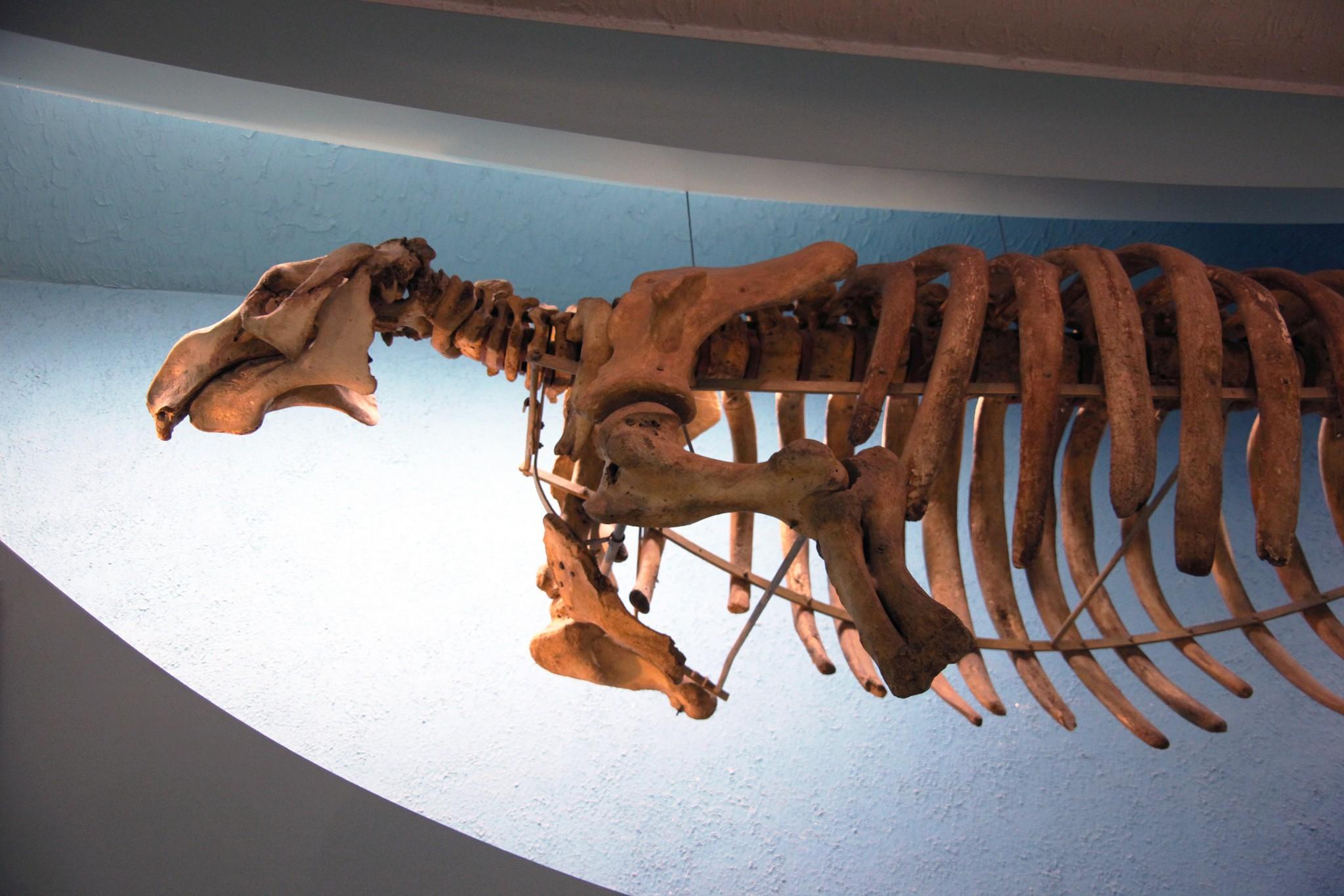 esqueleto da vaca marinha (Foto: tim evanson / flickr/ creative commons)