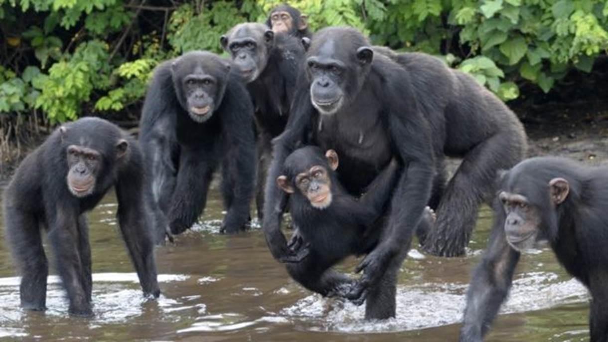 Os chimpanzés foram abandonados com poucas chances de se alimentarem sozinhos (Foto: Jenny Desmond/Divulgação)