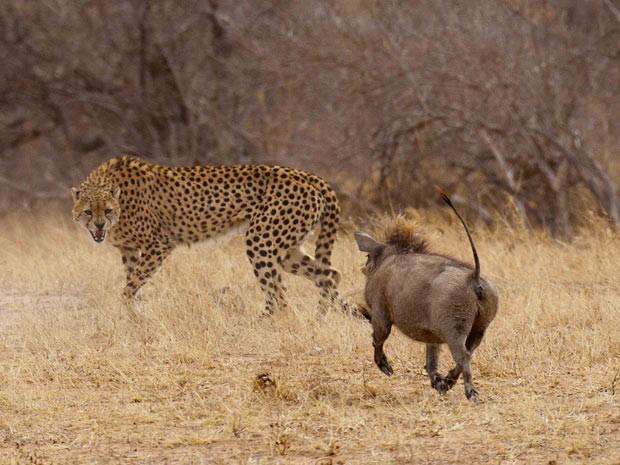 Em 2011, um javali-africano passou de presa a caçador em apenas alguns instantes na reserva de Tshukudu, na África do Sul. O animal não havia percebido que estava sendo seguido por um guepardo faminto. Depois que o felino chegou bem perto, o javali começou a perseguir o guepardo e o fez fugir (Foto: Caters)
