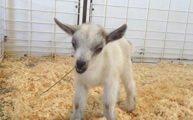 Bebê cabrito GusGus foi roubado de feira estadual do Arizona (Foto: Emilie Owen/AP)