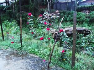 rosas de dona maria em teresopolis (Foto: Heitor Moreira/G1)
