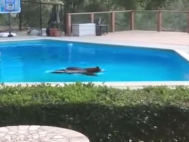Urso foi flagrado curtindo a piscina de casa em Arcadia (Foto: Reprodução/YouTube/Arcadia Police Department)