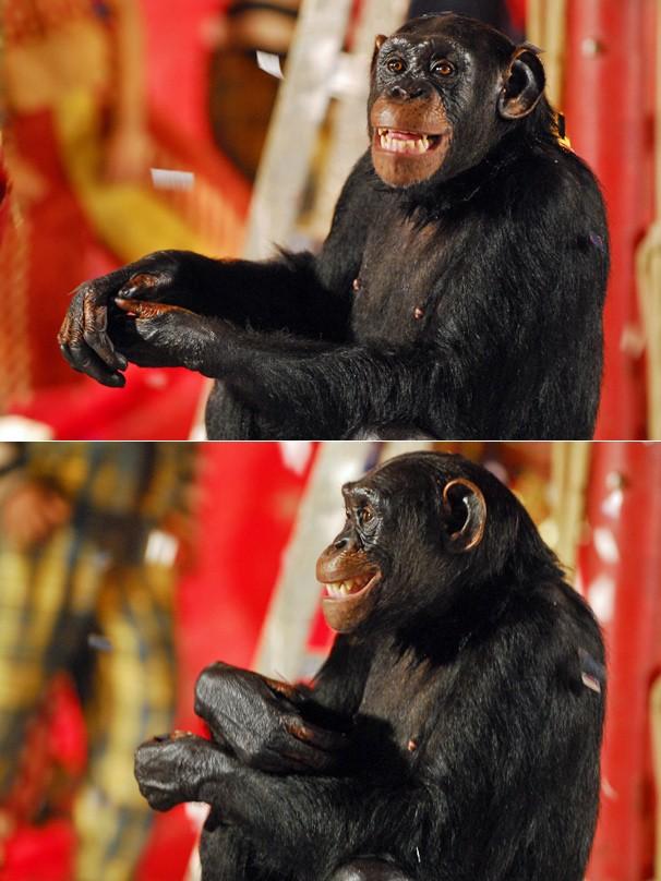O chimpanzé Xico vai agitar o mundo das artes na novela Caras e Bocas, a partir do dia 13 (Foto: Renato Rocha Miranda/Globo)
