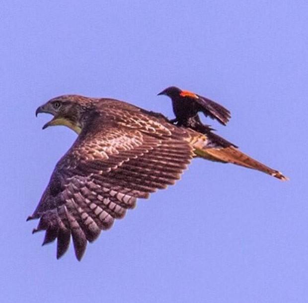 Pássaro foi flagrado pegando 'carona' nas costas de ave de rapina (Foto: Reprodução/Instagram/U.S. Department of the Interior)