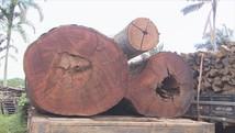 Burocracia faz  madeiras estragarem (Reprodução/Rede Amazônica)