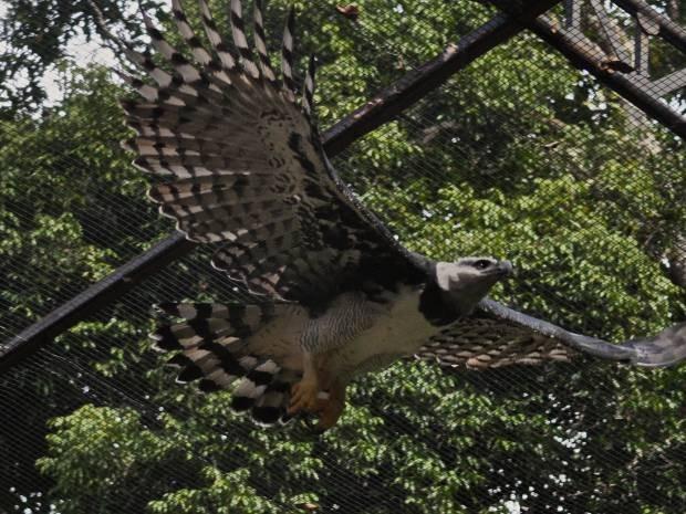 Gaviao real é uma das atrações do Parque Zoobotânico. (Fot Divulgação/ Vale)