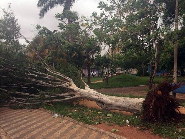 Queda árvore chuva Uberaba Praça Carlos Gomes (Foto: Nayara Lima/ Arquivo Pessoal)