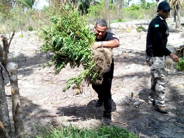Polícia chegou à plantação após prisão de suspeitos por tráfico (Foto: Divulgação / Polícia Civil)