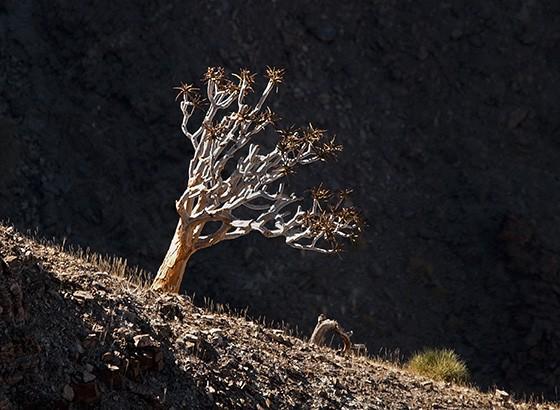 O kokerboom é uma planta nativa do sudoeste da África que cresce apenas em terrenos áridos  (Foto: © Haroldo Castro/ÉPOCA)