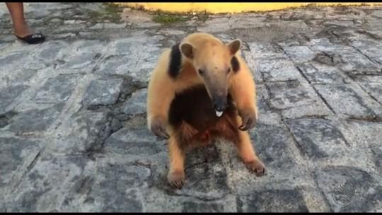 Morador encontra tamanduá na porta de apartamento em São Cristóvão