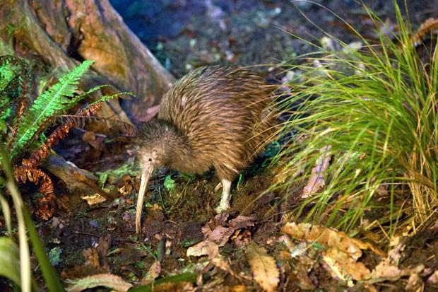 O kiwi só é encontrado naturalmente na Nova Zelândia; atualmente, a população no país é de 70 mil animais (Foto: Divulgação/Rainbow Springs)