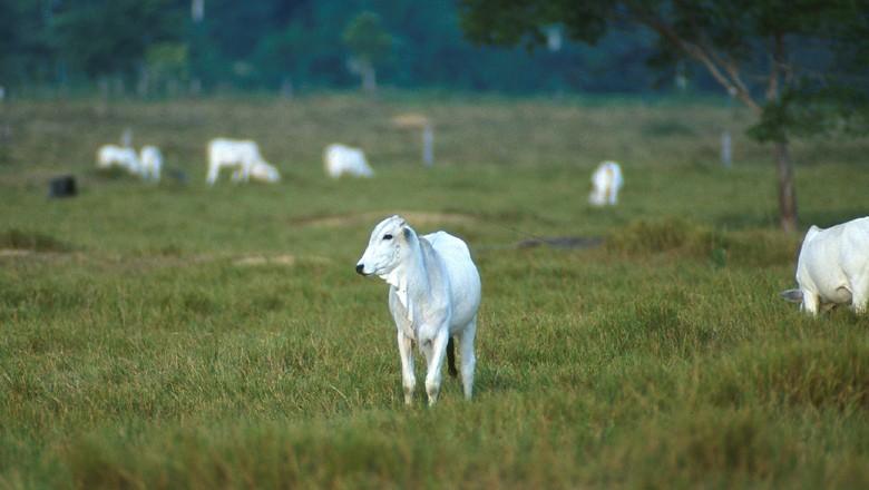 bovinos-boi-nelore-pecuaria (Foto: USDA/CCommons)