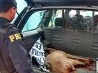 Polícia resgata cervo atropelado na BR-285 na região norte do RS