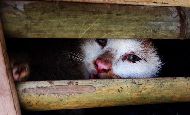 Milhares de gatos foram apreendidos em Hanói; ainda não se sabe o que será feito deles  (Foto: STR/AFP)
