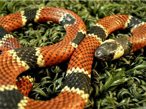 Serpentes: cobra coral o grupo de cobras mais colorido (Foto: Divulgação/Instituto Vital Brazil)