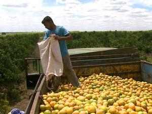 Produção de laranja é menor e produtores reclamam de falta de pagamento de leilões na região (Foto: Reprodução/EPTV)