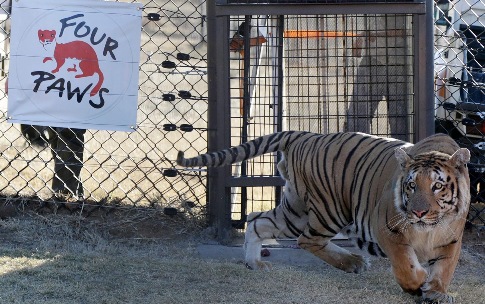 O tigre Laziz é liberado em seu novo recinto no Lionsrock Big Cat Sanctuary, em Bethlehem, na África do Sul, na quinta (25) (Foto: AP Photo/Themba Hadebe)