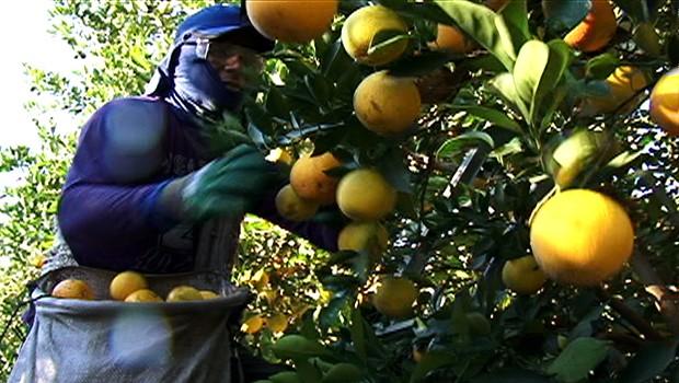 Caminhos do Campo colheita laranja (Foto: Reprodução/RPC TV)