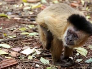 Macaco-prego Chico vive com a família em São Carlos há 37 anos (Foto: Fabio Rodrigues/G1)
