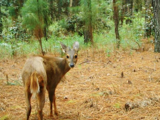 Veado catingueiro está entre as 26 espécies localizadas por pesquisadores da USP de Ribeirão Preto (Foto: créditos imagens animais: Reprodução/Projeto ocupação da paisagem do nordeste de São Paulo)