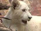 Única leoa branca nascida no Brasil completa 7 meses em Penha, SC