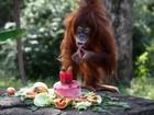 Orangotango fêmea comemora aniversário com frutas em zoo