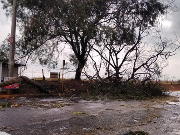 Arvore caiu em araçatuba durante vendaval  (Foto: Aplicativo TEM Você / Lelaine Nicolette)