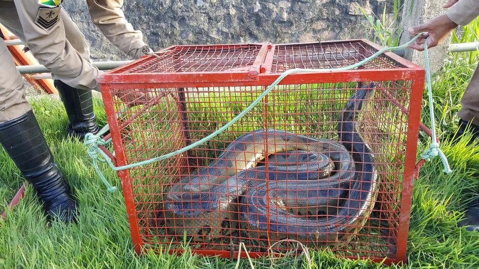 Sucuri foi colocada em gaiola após ser capturada em igarapé de Ji-Paraná (Foto: Marco Bernardi/G1)