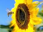 Sumiço de abelhas causaria 1 milhão de mortes no mundo, alerta estudo