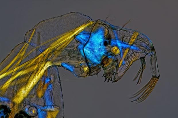 Imagem de uma larva de mosquito-fantasma foi capturada com ajuda de iluminação especial (Foto: Divulgação/Charles Krebs/2013 Olympus BioScapes Digital Imaging Competition)