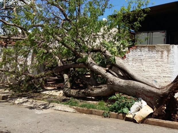 Árvores foram derrubadas por temporal em Itaporanga (Foto: Adolfo Lima/ TV TEM)