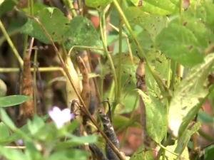 Praga 'mosca negra' é considerada perigosa para a lavoura (Foto: Reprodução/ TV Gazeta)