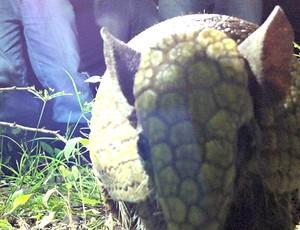 Tatu-bola em seu habitat natural (Foto: Diego Morais / Globoesporte.com)