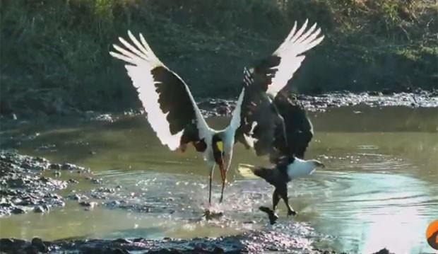 Águia aproveitou desacuido de cegonha-bico-de-sela e roubou refeição (Foto: Reprodução/YouTube/Kruger Sightings)