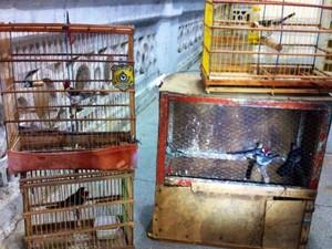 Pássaros silvestres estavam em gaiolas no porta-malas (Fot Divulgação/PRF)