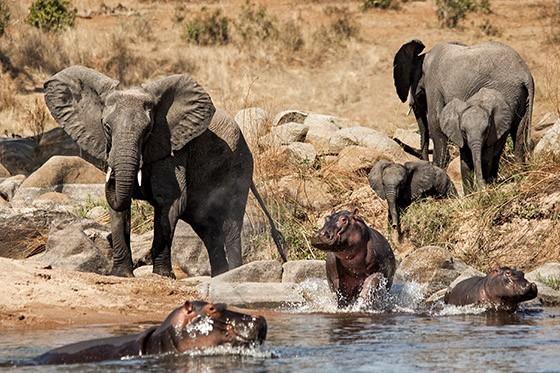 À esquerda, o elefante adolescente expulsa os hipopótamos da margem, abrindo espaço para que dois bebês elefantes, à direita, possam beber água. Parque Nacional Ruaha, Tanzânia  (Foto: Haroldo Castro/ÉPOCA)