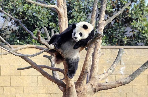 Panda gigante foi visto descansando em árvore no zoológico de Hangzhou, na província chinesa Zhejiang (Foto: China Daily/Reuters)