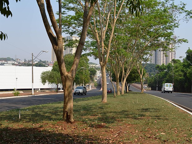 O angico é uma das árvores preferidas do aposentado Paulo Pedrazzi (Foto: Fernanda Testa/G1)