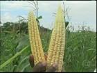Agricultores da BA retiram do campo uma boa safra de milho verde